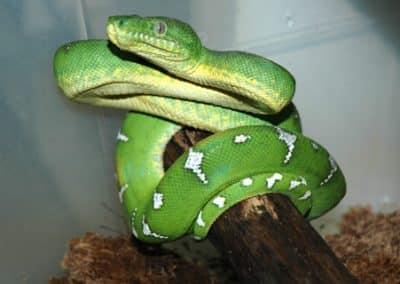 Serpent vert 1