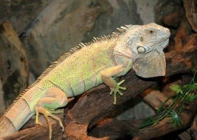 Iguane2